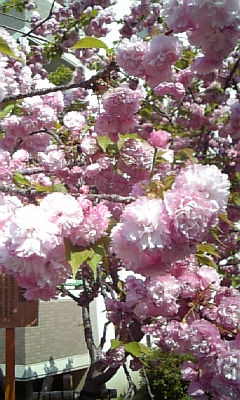 桜…さくら