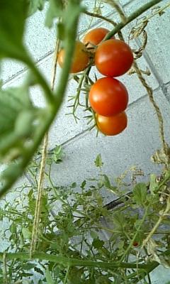 家庭菜園の様子…