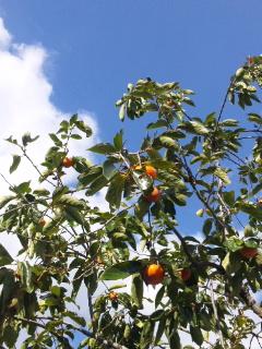 青の空と柿